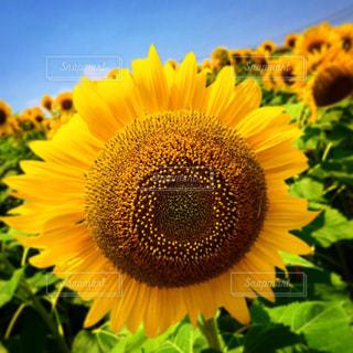 向日葵の写真・画像素材[1411296]