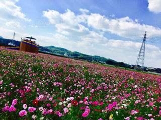 フィールドに大輪の花の写真・画像素材[1454411]
