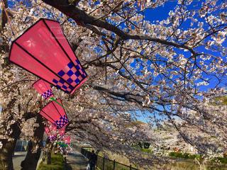 空,花,桜,屋外,桜並木,鮮やか,樹木,桜祭り,カラー,さくら