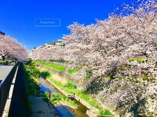 空,花,春,桜,屋外,青空,川,水面,桜並木,樹木,さくら