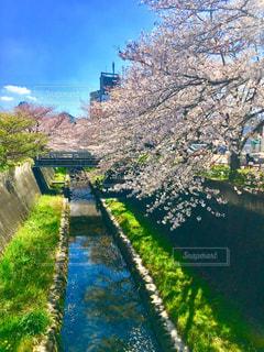 風景,空,花,春,桜,屋外,水面,桜並木,景色,草,樹木,草木,さくら