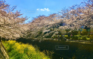 自然,空,花,春,桜,屋外,青空,桜並木,草,樹木,さくら