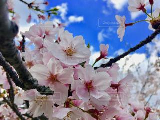 花,春,鮮やか,桜の花,さくら