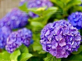 紫色の花のクローズアップの写真・画像素材[3392611]