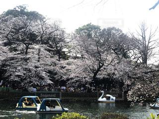 空,桜,屋外,湖,ボート,水面,スワンボート,サクラ,樹木,草木,日中,さくら