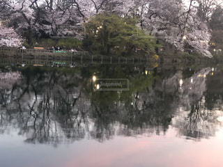 自然,公園,桜,屋外,夕暮れ,水面,池,反射,サクラ,草,樹木,トワイライト,井の頭公園,さくら