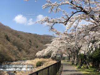 空,花,春,桜,屋外,水,川,景色,サクラ,樹木,箱根,さくら