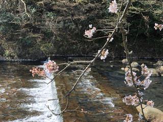 花,桜,屋外,水,川,水面,サクラ,樹木,箱根,さくら