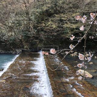 自然,花,春,桜,屋外,水,川,水面,サクラ,樹木,さくら