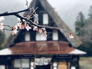 空,花,桜,雨,屋外,景色,サクラ,屋根,合掌造り,さくら