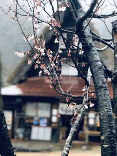 花,春,桜,雨,屋外,枝,サクラ,樹木,合掌造り,さくら