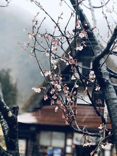 空,花,春,桜,雨,屋外,枝,サクラ,樹木,屋根,合掌造り,さくら
