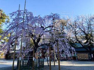 空,花,桜,屋外,神社,サクラ,樹木,境内,枝垂れ,さくら