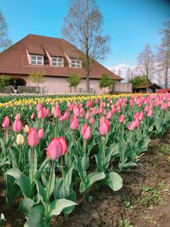花,春,お花畑,チューリップ,チューリップ畑,滋賀,ブルーメの丘,2018年4月