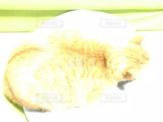その口を開いて白猫の写真・画像素材[1006524]