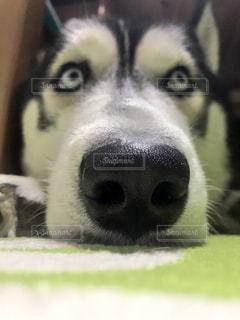 近くにカメラを見て犬のアップの写真・画像素材[1006274]