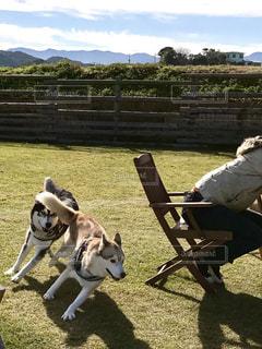 犬,アウトドア,空,芝生,屋外,シベリアンハスキー,休日,ドッグラン,日中,ハスキー
