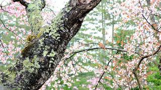 緑と桜の写真・画像素材[1162956]