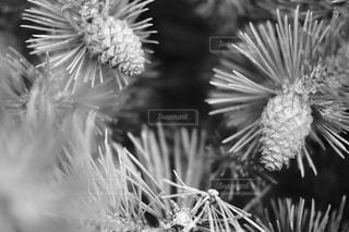 針葉樹林の写真・画像素材[1269470]