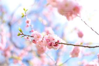 ピンクの花の木の写真・画像素材[1834441]