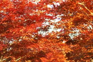 真っ赤な紅葉の写真・画像素材[2667785]