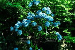 紫陽花の写真・画像素材[3455174]