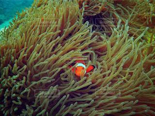 ハワイ,ダイビング,ニモ,睨まれてる,綺麗なオレンジ