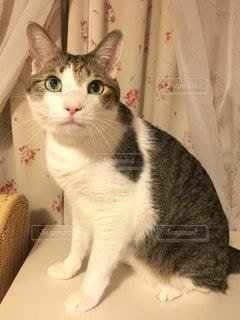 猫の写真・画像素材[33707]