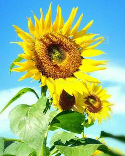 花,ひまわり,青空,黄色,向日葵,flower