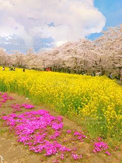 フィールド内の黄色の花の写真・画像素材[1013706]