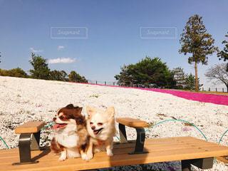 ベンチに座っている犬の写真・画像素材[1126252]