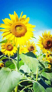 近くに黄色い花のアップの写真・画像素材[1158835]