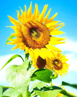 近くに黄色い花のアップの写真・画像素材[1158836]