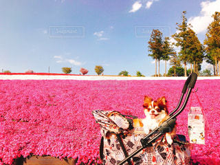 犬,公園,桜,チワワ,ピンク,青空,笑顔,芝桜,dog,愛犬,ちわわ