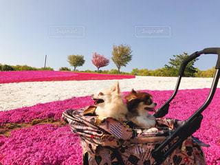 ピンクの毛布の上に横たわる犬の写真・画像素材[1186239]