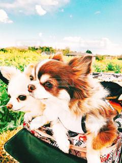 茶色と白の小型犬の写真・画像素材[1186488]