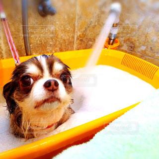 黄色の歯ブラシの上に座って犬の写真・画像素材[1186757]