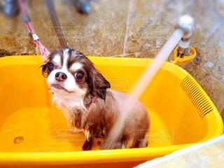 バスケットに座って犬の写真・画像素材[1186941]