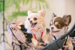 茶色と白の小型犬の写真・画像素材[1187305]