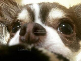 カメラを見て茶色と白犬の写真・画像素材[1188105]