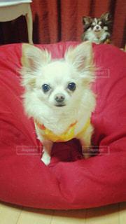 赤シャツの小型犬の写真・画像素材[1188596]