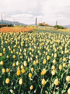 フィールド内の黄色の花の写真・画像素材[1371848]