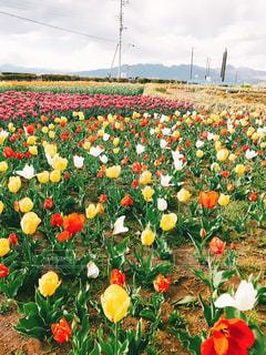 フィールドのカラフルな花のグループの写真・画像素材[1372161]