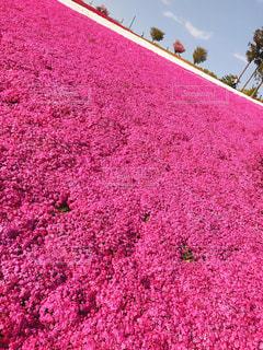 緑の葉とピンクの花の写真・画像素材[1377585]