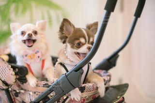 カメラにポーズを鏡の前で座っている犬の写真・画像素材[1388571]
