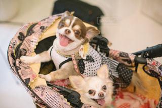 小型犬ベッドの上に座っての写真・画像素材[1388579]