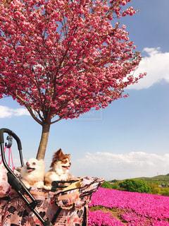 木にピンクの花のグループの写真・画像素材[1392123]