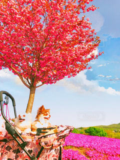 空,公園,花,桜,チワワ,LOVE,屋外,ピンク,散歩,芝桜,flower,愛犬,思い出,Cute,ピンク色,桃色,お出かけ