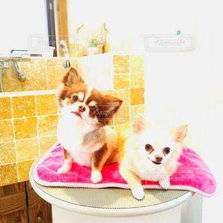犬,チワワ,LOVE,屋内,ピンク,可愛い,トリミング,ピンク色,pink