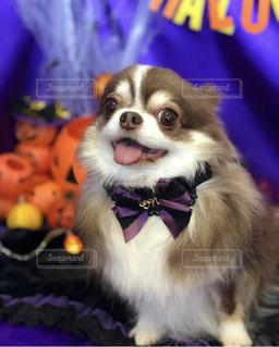紫のシャツを着て犬の写真・画像素材[1595968]